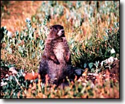 A marmot watching us