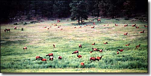 Elk in a meadow