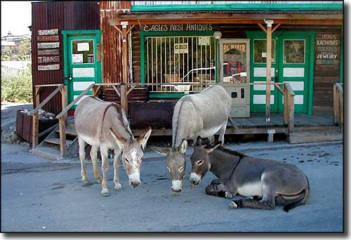 Burros of Oatman, Arizona