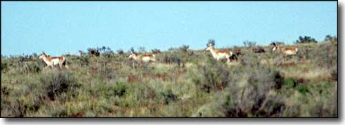 Pronghorns along the way