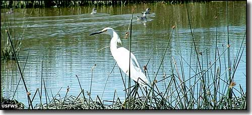 An egret at Bear Lake National Wildlife Refuge