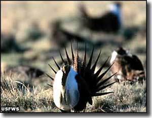 Sage grouse at Sheldon National Wildlife Refuge