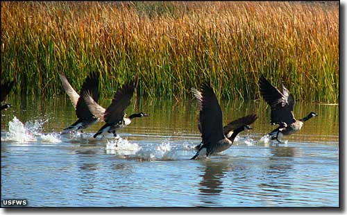Geese taking flight at Stillwater National Wildlife Refuge