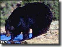 A black bear in Beartrap Canyon Wilderness