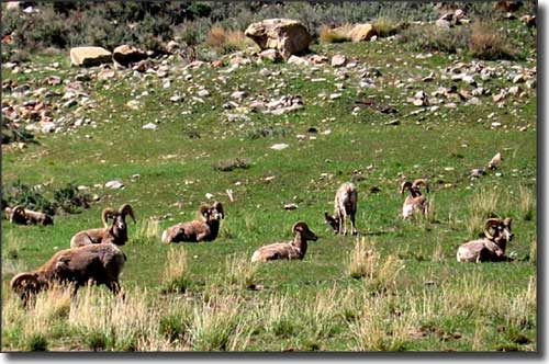 Bighorn sheep outside Sunnyside, Utah