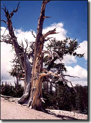 A twisted old bristlecone pine at the edge of Cedar Breaks