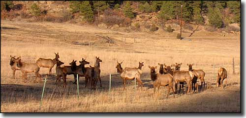 Elk at the fenceline